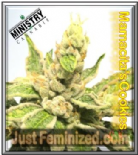 Ministry of Cannabis Mamacita Cookie Fem 5